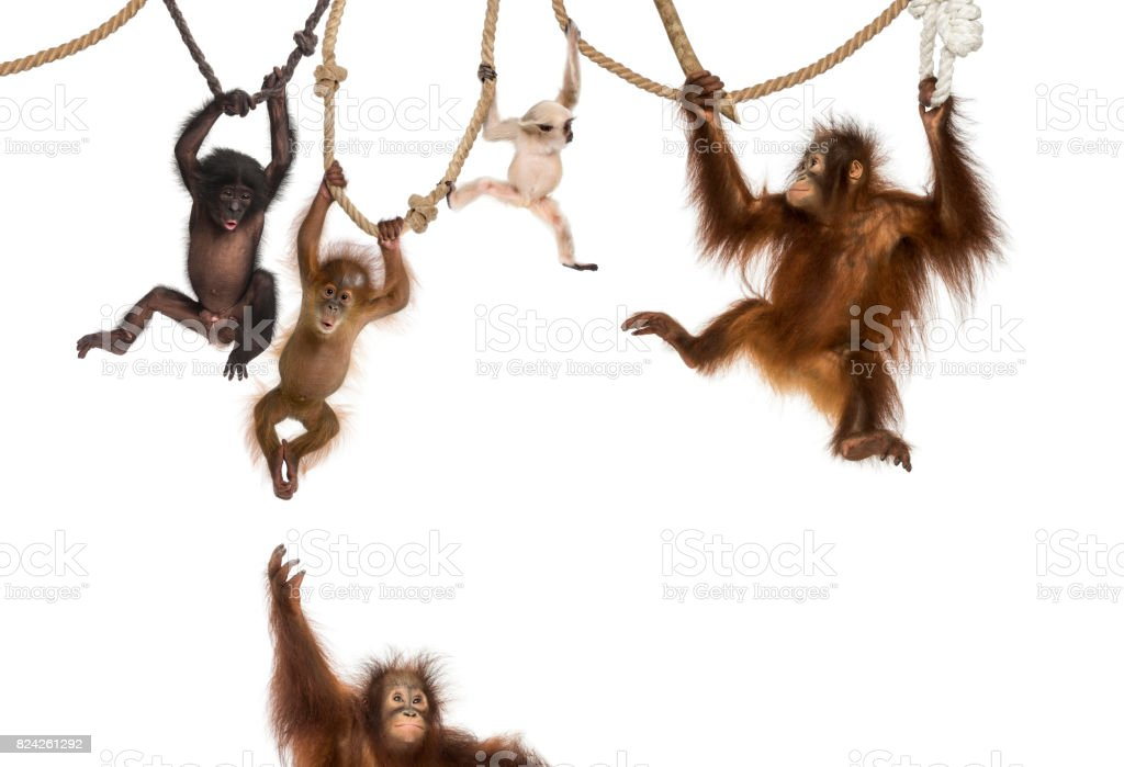 Young Orangutan, young Pileated Gibbon and young Bonobo hanging on ropes against white background stock photo