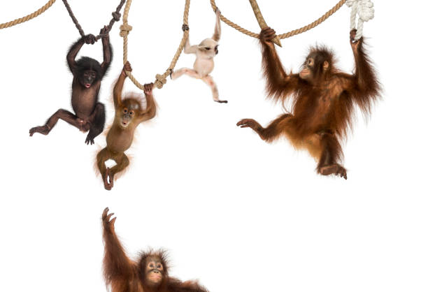 young orangutan, young pileated gibbon and young bonobo hanging on ropes against white background - ape stock pictures, royalty-free photos & images