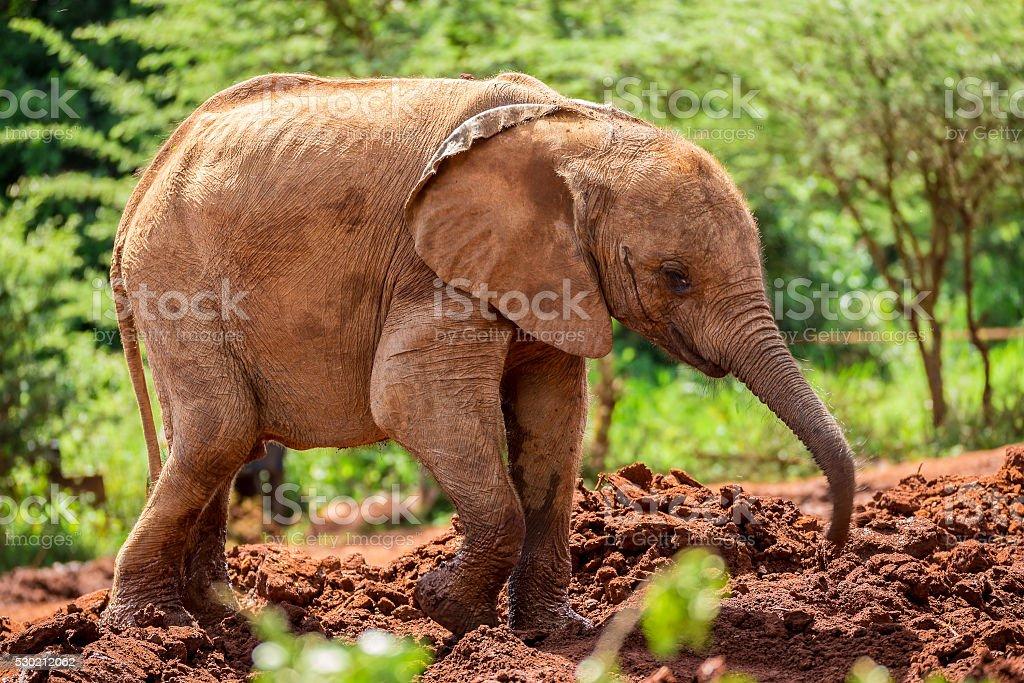 Young orphant elephant in Sheldrick Elephant Orphanage in Nairobi (Kenya) stock photo
