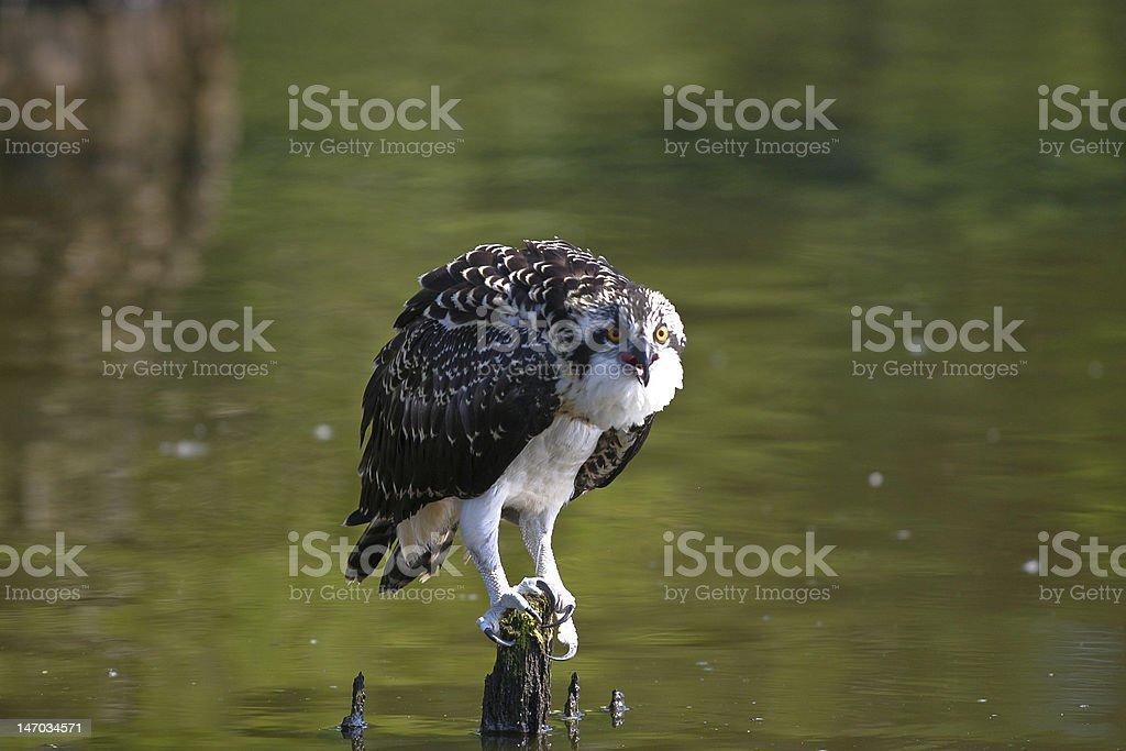 Young osprey stock photo