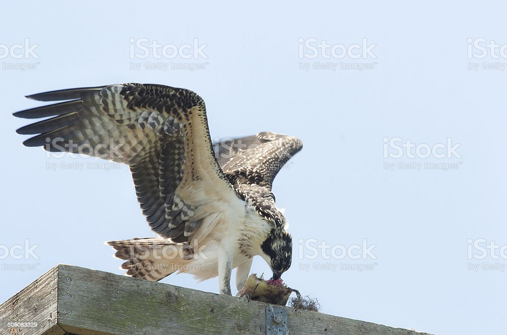 Young Osprey with Fish stock photo
