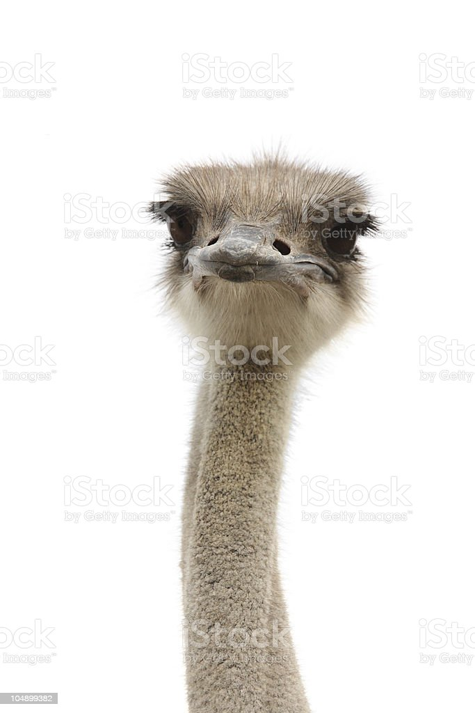 young ostrich female stock photo