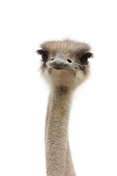 young ostrich female - struisvogel stockfoto's en -beelden