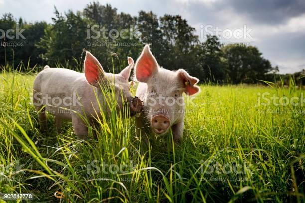 Young outdoor raised organic pigs picture id902847778?b=1&k=6&m=902847778&s=612x612&h=m 8nsqvakc k5yzgzkqhv0mwdsrvpnrj4znerdy1wgg=