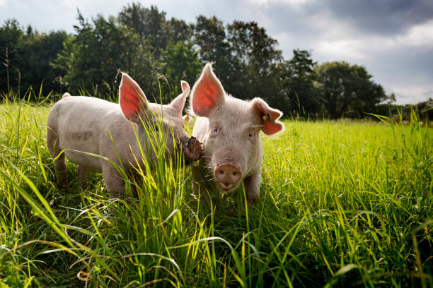 Young Outdoor Raised Organic Pigs stock photo
