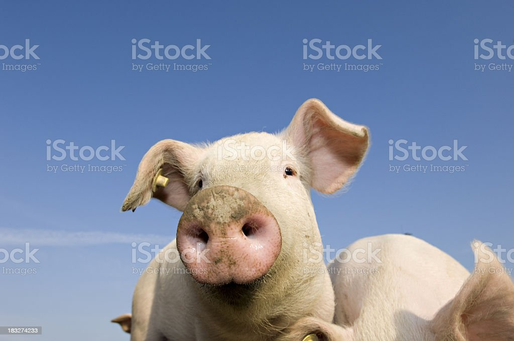 Young Outdoor Raised Pig royalty-free stock photo