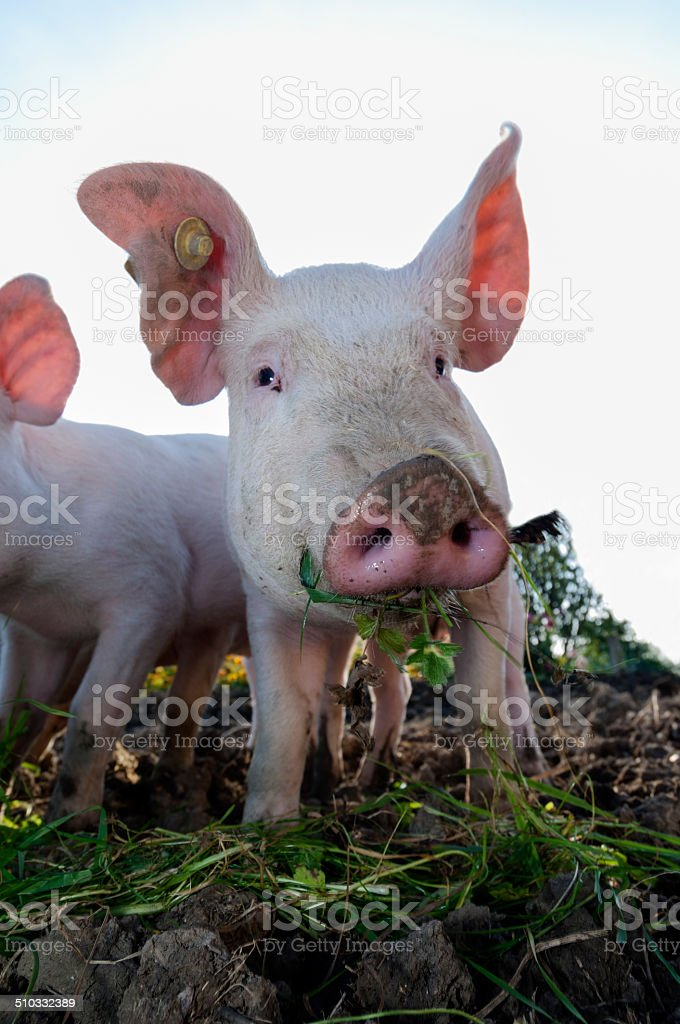 Young Outdoor Raised Pig stock photo