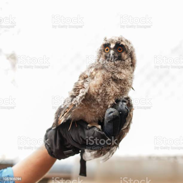 Young owl is sitting on hands with a glove picture id1032935294?b=1&k=6&m=1032935294&s=612x612&h=rfaf31zluzilzm3zyjcxwabb0rg8j6wui5abfjq2h5c=