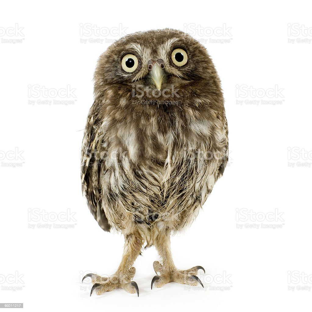 Young owl (4 weeks) royalty-free stock photo