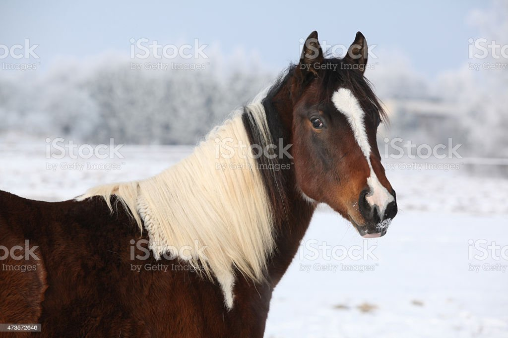 Young paint horse mare in winter stock photo