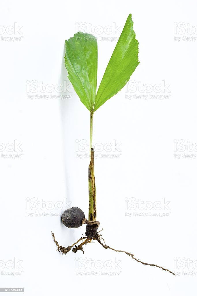 Young palm seedling royalty-free stock photo
