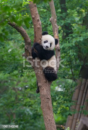istock Young panda bear in tree 1061140246