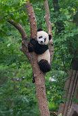 Young giant panda bear playing in treeYoung giant panda bear playing in tree