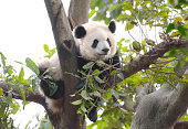 Cute Young Panda resting and sleeping in a tree, Chengdu, Sichuan, China.