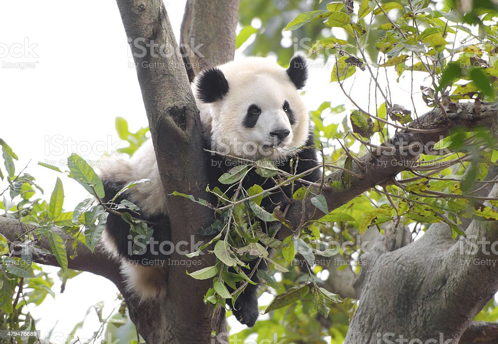 Young Panda Sleeping in a Tree, China stock photo