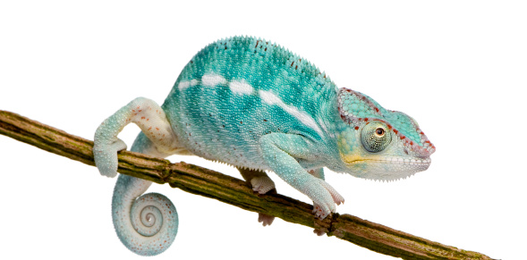 Young Chameleon Furcifer Pardalis - Nosy Be (7 months)  in front of a white background.