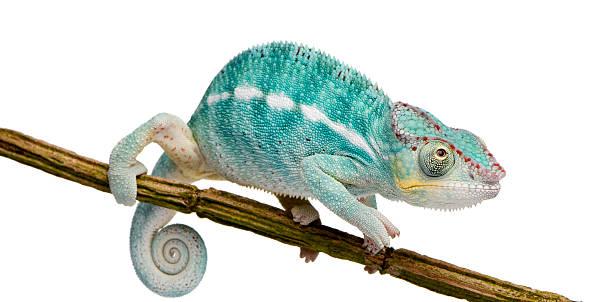 młody panther chameleon furcifer pardalis-nosy be (7 miesięcy - kameleon zdjęcia i obrazy z banku zdjęć