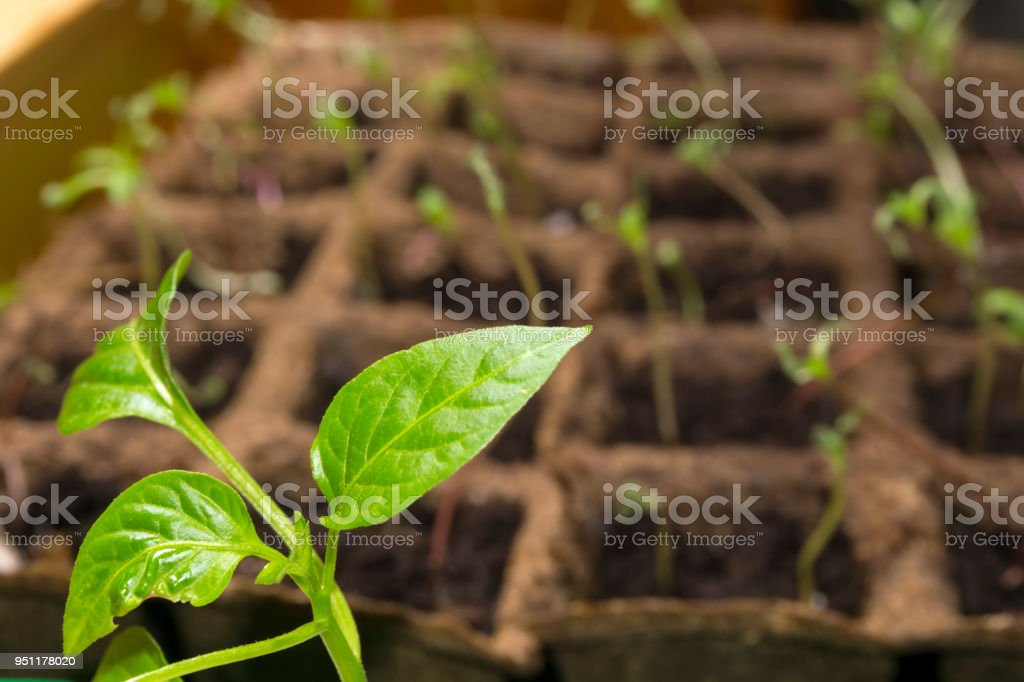young paprika sprout in a peat pots on a windowsill stock photo
