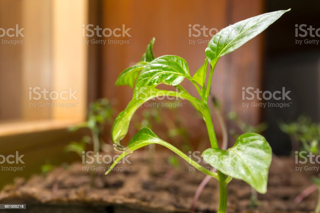 young paprika sprout in a peat pots on a windowsill'n'n stock photo