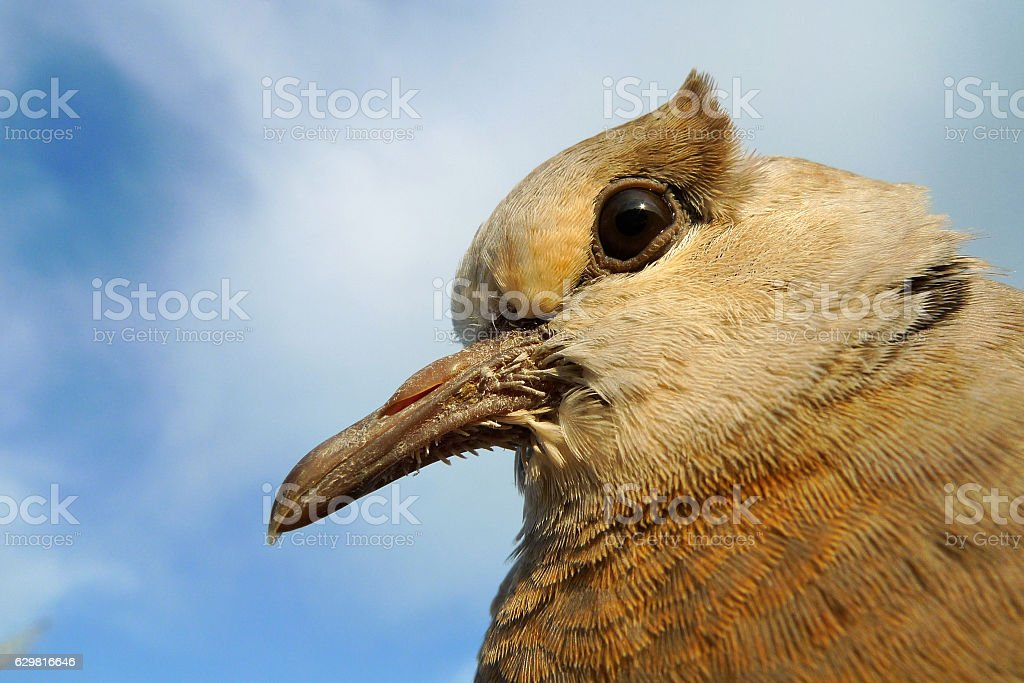 Young Partridge bird face to the sky stock photo