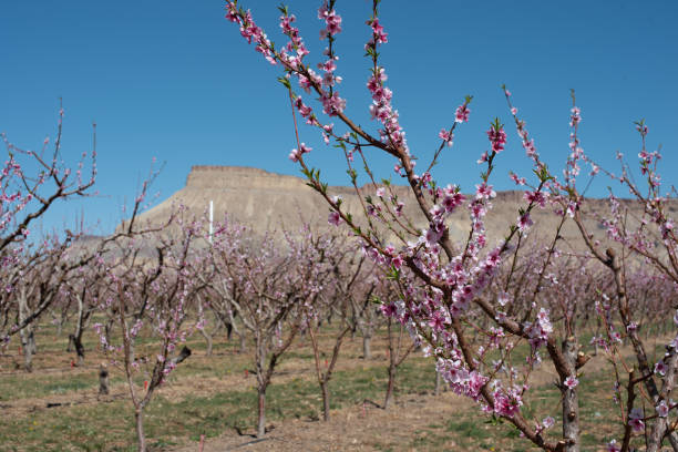 Young Peach Tree in bloom stock photo