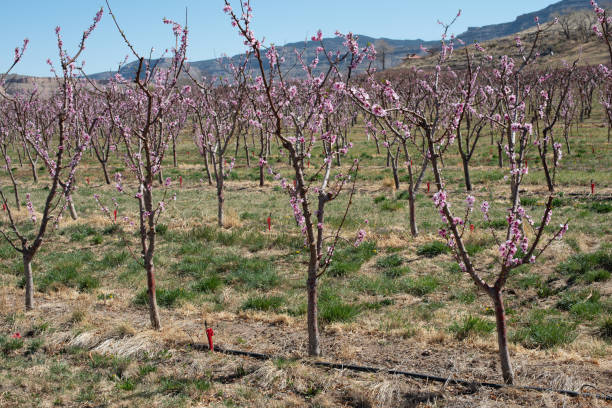 Young peach trees in bloom stock photo
