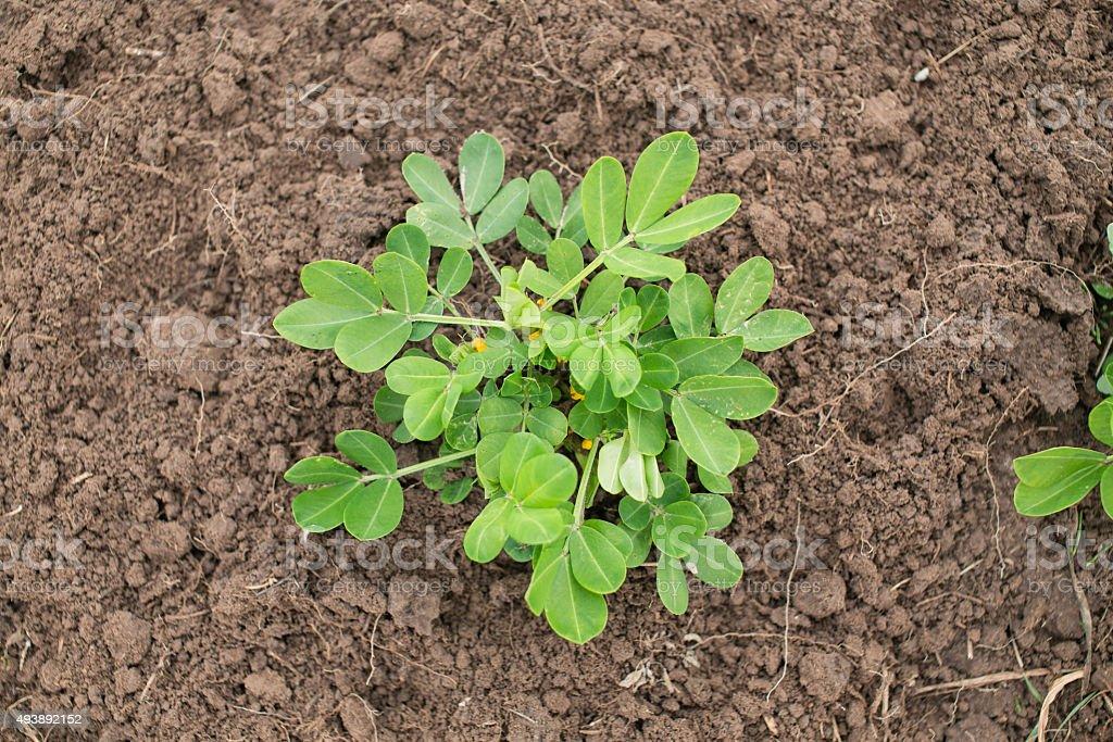 Junge Erdnuss Pflanze in einem örtlichen Bauernhof. Blühenden groundnut plant – Foto