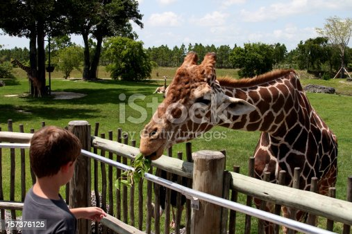 istock A young people feeding leaves to a giraffe in a zoo 157376125