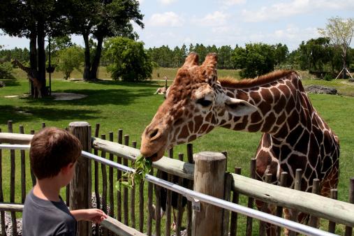 Newborn baby giraffe standing next to its mother in the grassy plains of Masai Mara in Kenya