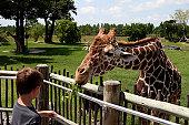 Youth boy feeding leaves to giraffe.