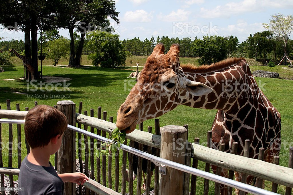 A young people feeding leaves to a giraffe in a zoo stock photo