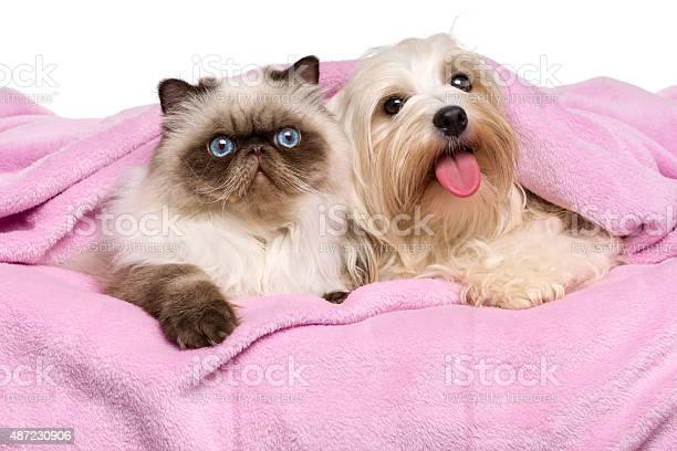 Young persian cat and happy havanese dog lying on bedspread picture id487230906?b=1&k=6&m=487230906&s=612x612&h=l8ak16gbitex1hztzfzc z0vxa  jwlysvfwtlbo6ca=