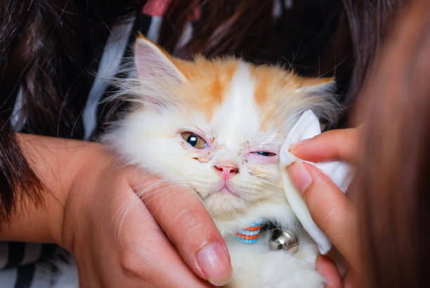 Young persian cat is getting its eye wiped picture id673829050?b=1&k=6&m=673829050&s=612x612&w=0&h=9ysltnp9fzcy omc1aeei actwinj34hchwlpuhkidi=