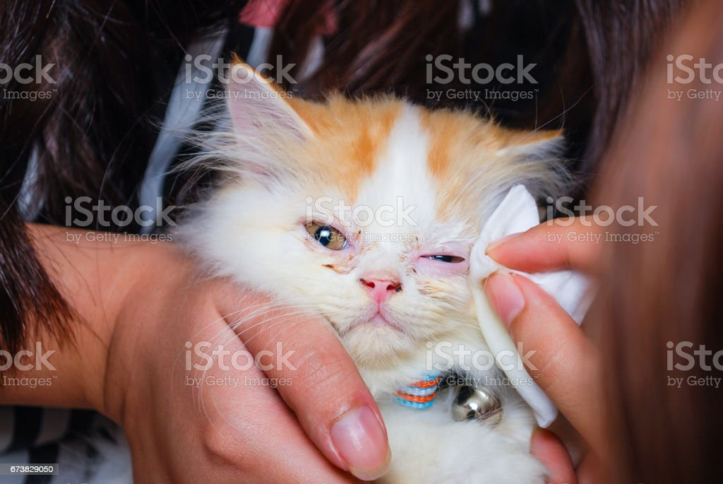 Young Persian cat is getting its eye wiped stock photo