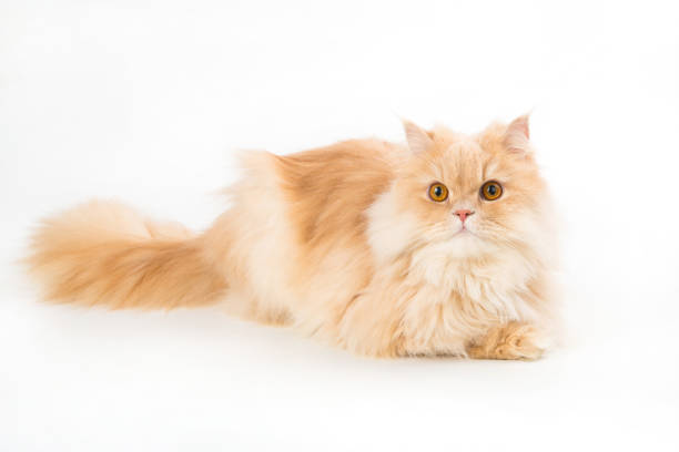 Young persian cat isolated on white picture id857973672?b=1&k=6&m=857973672&s=612x612&w=0&h=d8vwafu jsfaixpyzghhga7ydr pkwqlwpnuwhbiyzy=
