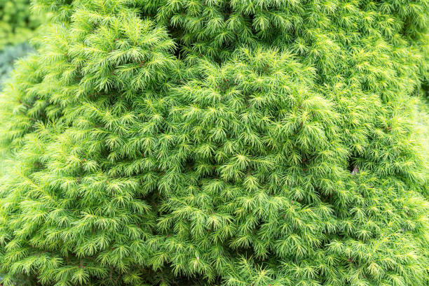 Young Picea Abies Nidiformis Tree stock photo