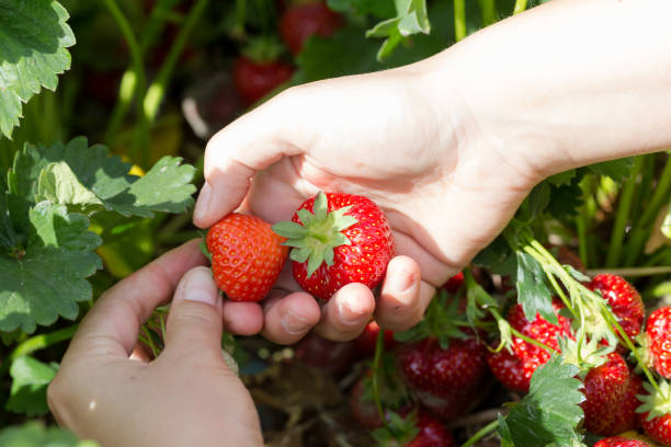 Young pickng fresh juicy red strawberries stock photo