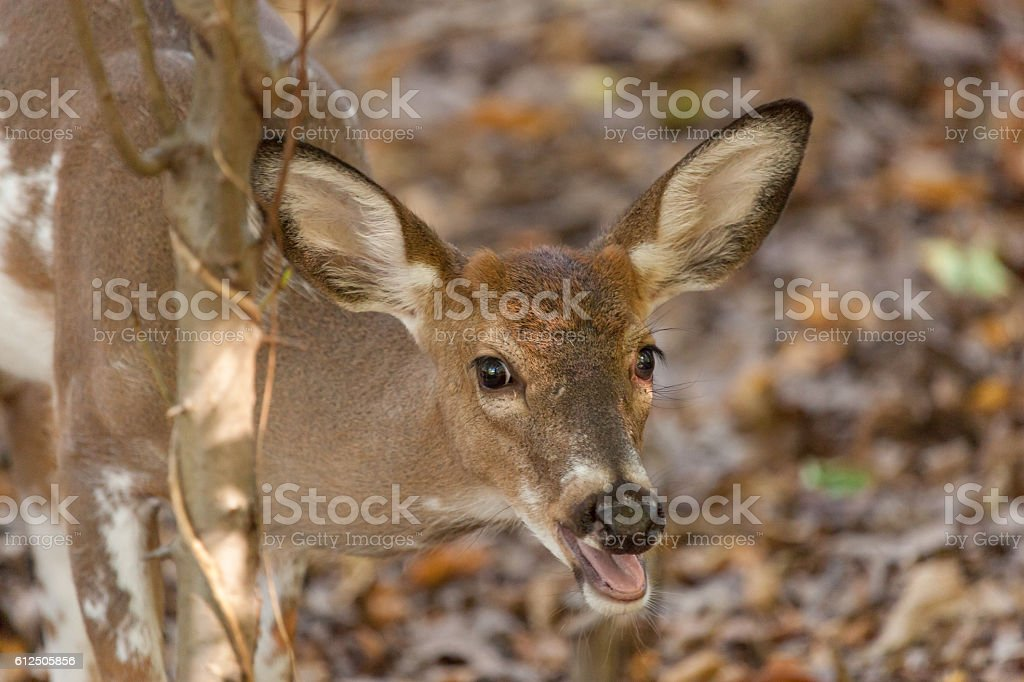 Young Piebald White-tailed Buck stock photo