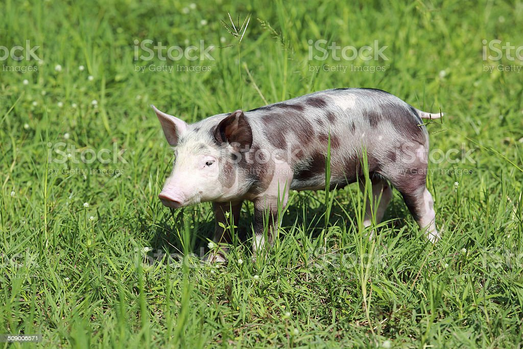 Young pig on a spring green grass stock photo