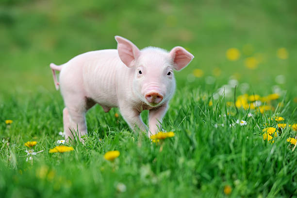 Young pig on grass stock photo