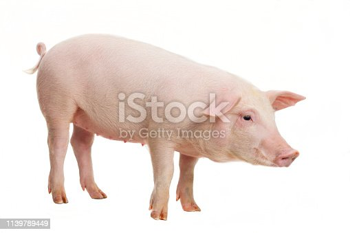 Young pig on white background, studio photography.
