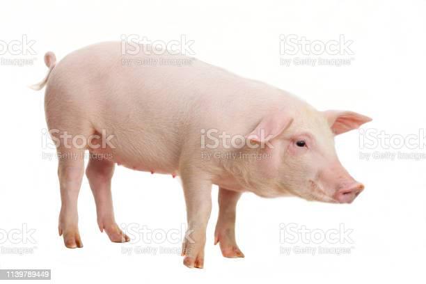 Young pig on white background picture id1139789449?b=1&k=6&m=1139789449&s=612x612&h=aglqs3wxnxmcbjdq8 u8ffpoxv4bdo63fp9i4lmc10s=