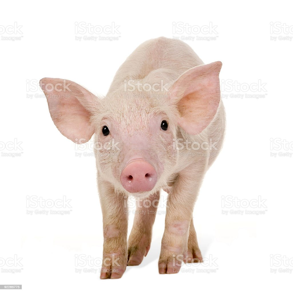 Young pig royalty-free stock photo