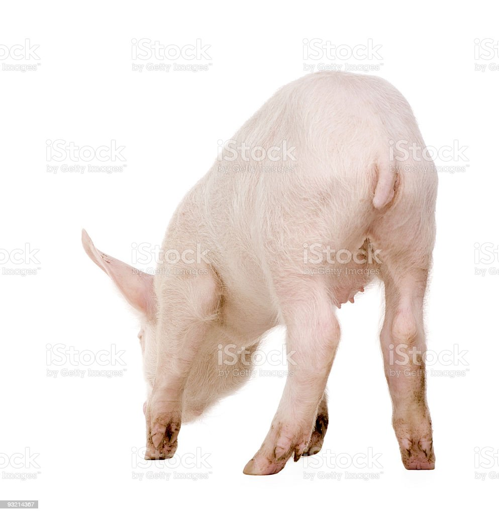 Young pig (+/-1 month) royalty-free stock photo