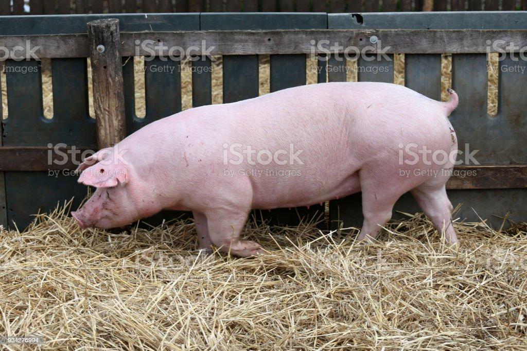 Junges Schwein Läuft Auf Frischem Heu Gegen Holzzaun Im ...