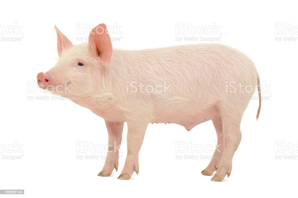 Young pig standing on white background stock photo