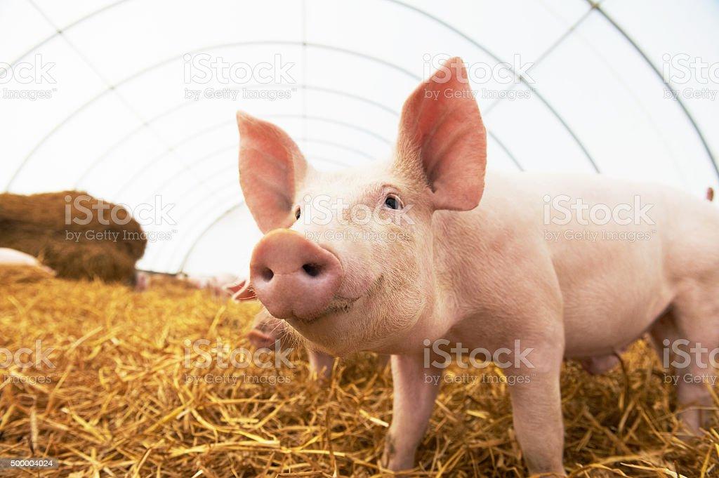 Young piglet at pig breeding farm stock photo