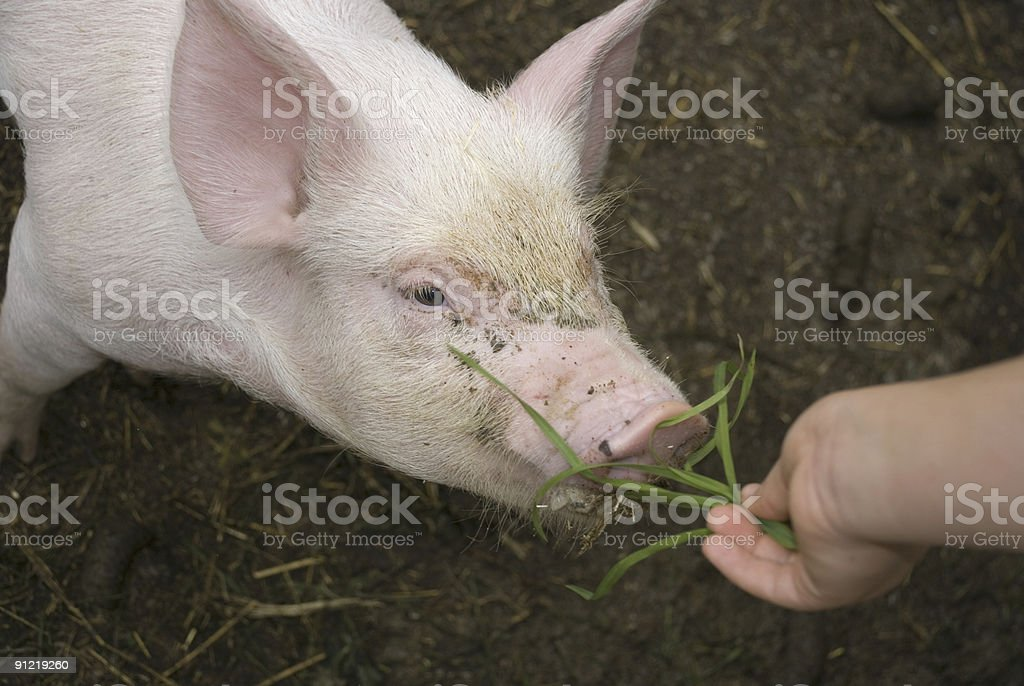 Young piglet eating grass royalty-free stock photo