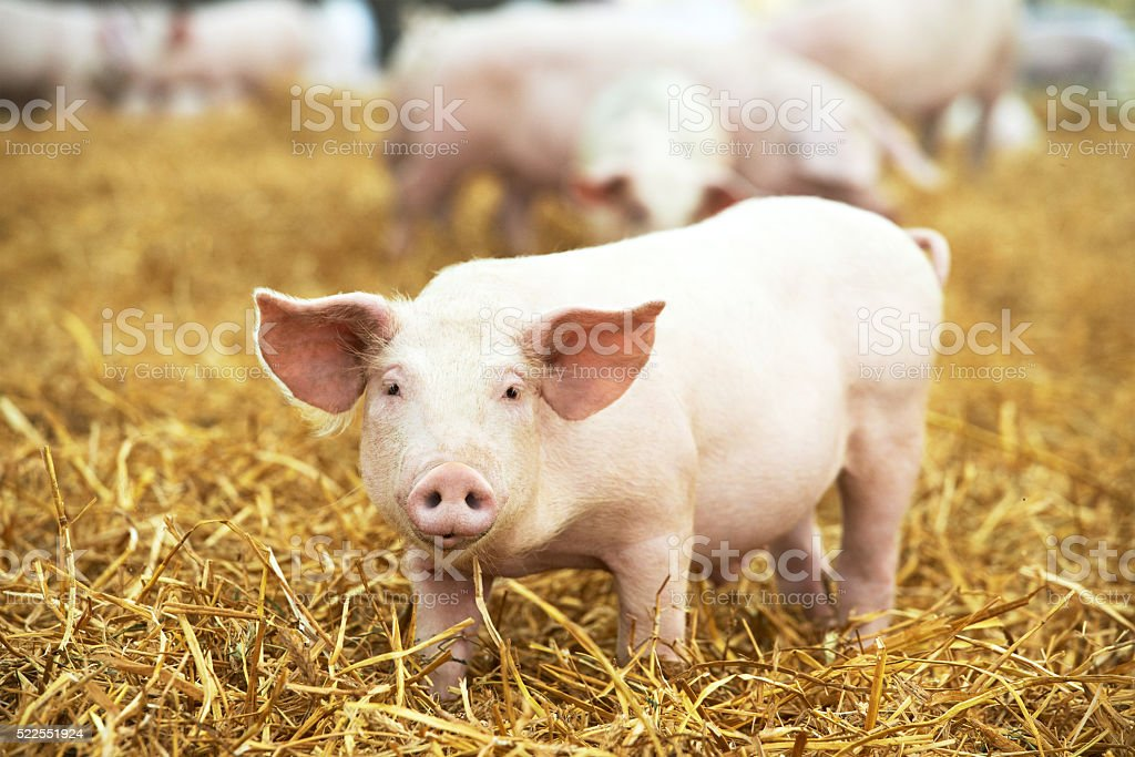 Young piglet on hay and straw at pig breeding farm stock photo