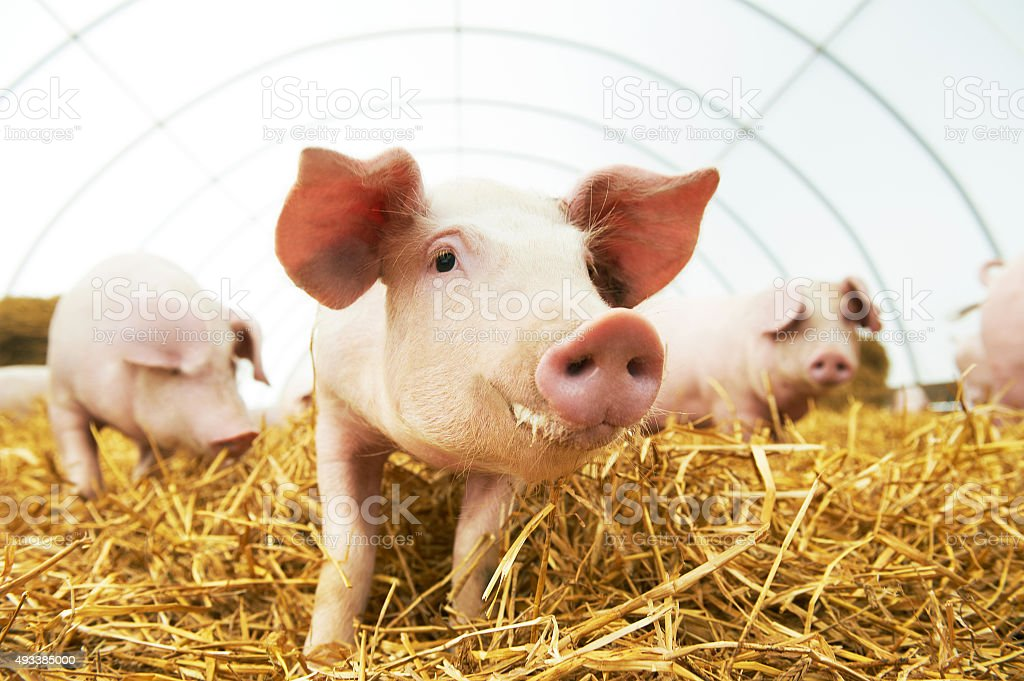 young piglet on hay at pig farm stock photo